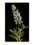 Lupine, Yellowstone National Park Posters
