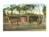 Barasingha Deer, San Diego Zoo Prints