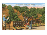 Picking Avocados, San Diego County, California Print