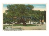 Old Oak, Magnolia Cemetery, Charleston, South Carolina Reprodukcje