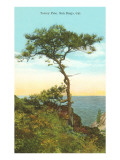 A Torrey Pine, San Diego, California Posters