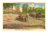 Milling Sugar Cane, Manning, South Carolina Prints
