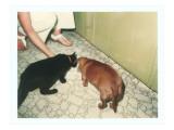 Cat and Dachshund Sharing Bowl Print