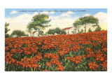 Poinsettia Field, Carlsbad, San Diego County, California Prints