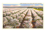 Cherry Orchard, Door County, Wisconsin Posters
