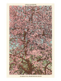 Apple Blossoms in Washington Posters