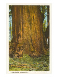 Giant Cedar, Washington Posters