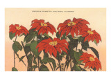 Gorgeous Poinsettias, San Diego, California Prints