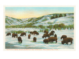 Bison Herd, Yellowstone National Park Prints