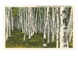 White Birch Forest, Wisconsin Prints