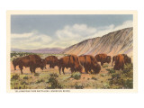 Bison Herd, Yellowstone National Park Posters