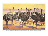 Ostrich Farm, San Diego Exposition, California Posters