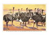 Ostrich Farm, San Diego Exposition, California Posters