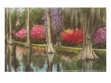 Cypresses in Magnolia Gardens, Charleston, South Carolina Posters