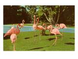 Flamingos at San Diego Zoo Plakaty