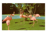 Flamingos at San Diego Zoo Prints