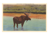 Bull Moose, Yellowstone National Park Posters