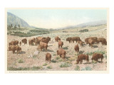 Bufffalo Herd, Yellowstone National Park Posters