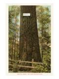 Big Tree Ravenna Park, Seattle, Washington Prints