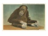 Sumatran Orangutan, San Diego Zoo Prints