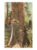 Lumberjacks Felling Cedar, Washington Poster
