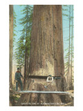 Lumberjacks Felling Fir, Washington Prints