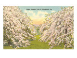 Apple Blossoms, Winchester, Virginia Poster