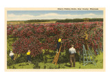Cherry Picking, Door County, Wisconsin Posters