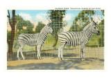 Chapman Zebras, San Diego Zoo Print