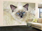 Ragdoll Kitten Wall Mural – Large by Savanah Stewart