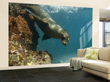 Galapagos Sealion, Gardner Bay, Española Island, Galapagos Islands, Ecuador Wall Mural – Large by Pete Oxford