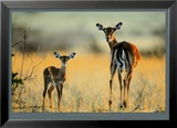 Impala, Mother and Infant Art by Michel &amp; Christine Denis-Huot