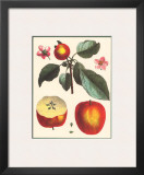 Calville Rouge Prints by Claude Aubriet