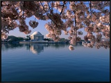 Japanese Cherry Blossoms Frame the Jefferson Memorial and the Tidal Basin Framed Canvas Print