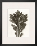 Chrysanthemum Segetum, Feverfew Prints by Karl Blossfeldt