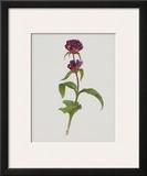 Dreary Purple Gentian Poster by Moritz Michael Daffinger