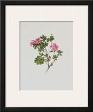 Alpine Rose Posters by Moritz Michael Daffinger