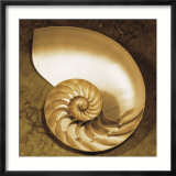 Chambered Nautilus Prints by Caroline Kelly