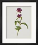 Dreary Purple Gentian Prints by Moritz Michael Daffinger