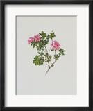 Alpine Rose Poster by Moritz Michael Daffinger