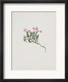 Small Alpine Rose Posters by Moritz Michael Daffinger