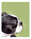 Boston-Terrier vor avokadofarbenem Hintergrund Fotografie-Druck von Patti Meador