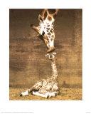 Giraf, eerste kus, ouder met jong Print van Ron D'Raine