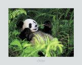 Panda gigante, provincia de Szechwan, China Arte por Fernandez