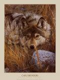 Un loup au repos Affiches par Carl Brenders