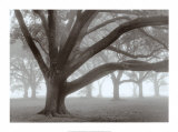 Oak Grove in Fog Poster by William Guion
