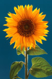 Sunflower Wall Poster