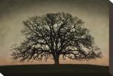 Majestic Oak Stretched Canvas Print by David Winston