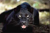 Black Panther Close-Up Stretched Canvas Print