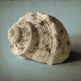 Seashell Study I Poster av Heather Jacks